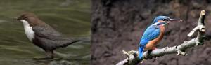 Eisvogel und Wasseramsel
